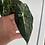 Thumbnail: Variegated frydek