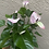 Thumbnail: Anthurium- purple pearly