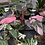 Thumbnail: pink princess philodendron cutting