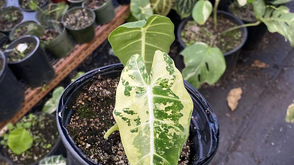 Aurea Variegated frydek plant rooted
