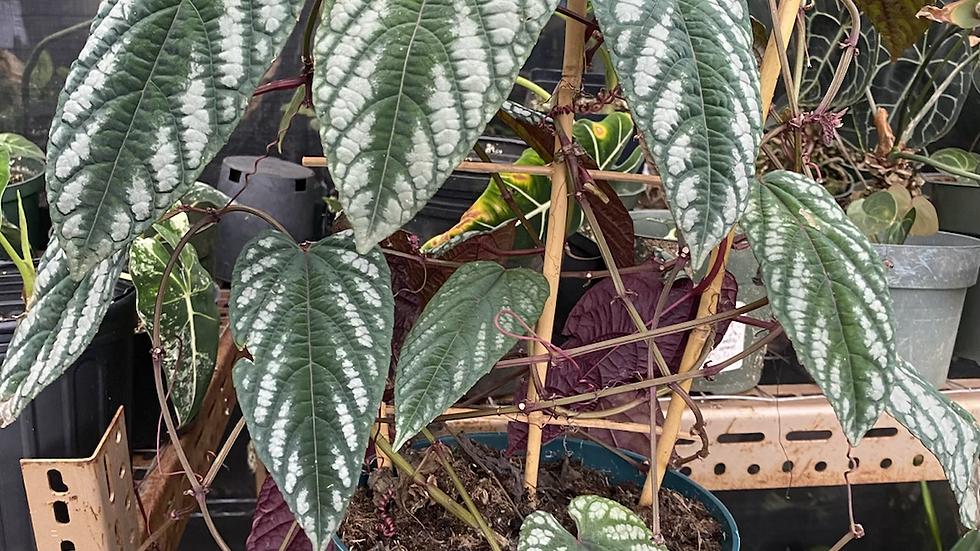 Begonia vine BIg leaf  CISSUS DISCOLOR exact plant in pic
