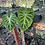 Thumbnail: philodendron verrucosum- cutting grow point