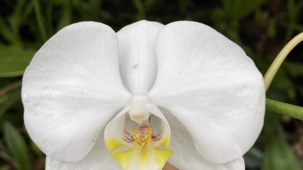 White moth orchid (phalaenopsis)