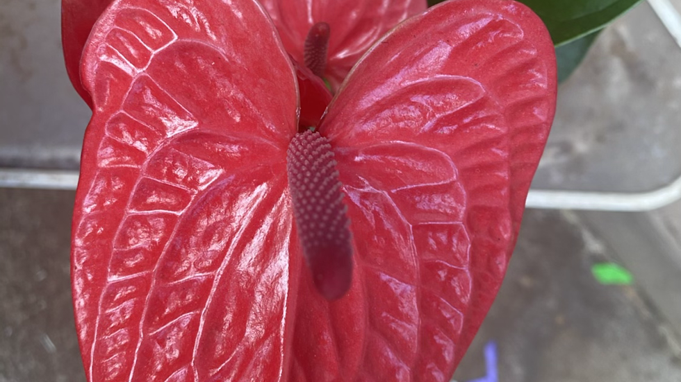 Anthurium- Casanova (deep red)