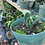 Thumbnail: Anthurium clarinervium baby exact one in pic