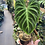 Thumbnail: philodendron verrucosum- rooted