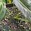 Thumbnail: Anthurium warocqueanum
