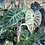 Thumbnail: philodendron verrucosum baby plant rooted