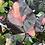 Thumbnail: Pink princess cuttings starting  to root