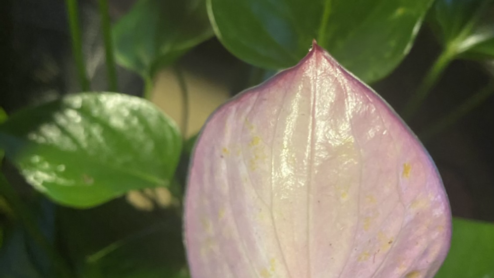 Anthurium- purple pearly