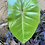 Thumbnail: Philodendron Climbing Erubescens