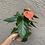 Thumbnail: Anthurium- Prince of Orange