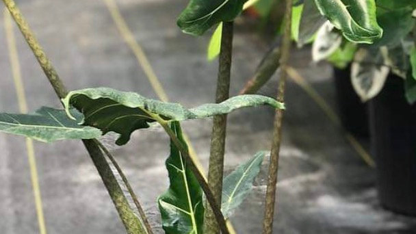 Alocasia Sarian jumbo species
