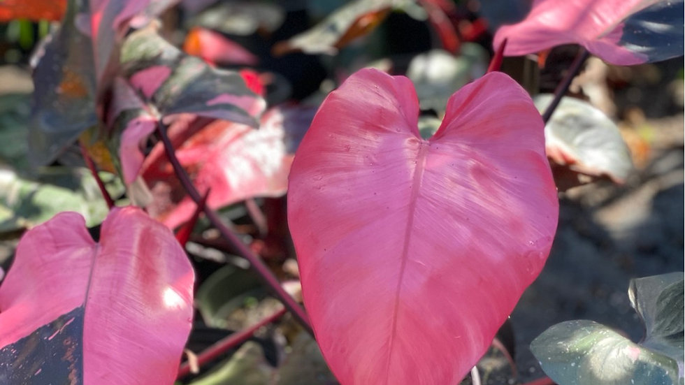 pink princess philodendron cutting