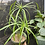 Thumbnail: Cyperus involucratus-