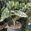 Thumbnail: Pick your Variegated frydek plant rooted