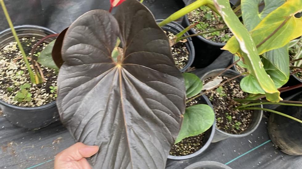 Anthurium chamberlainianum-rare