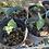Thumbnail: Anthurium clarinervium- baby plant