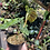 Thumbnail: Philodendron verrucosum rooted plant