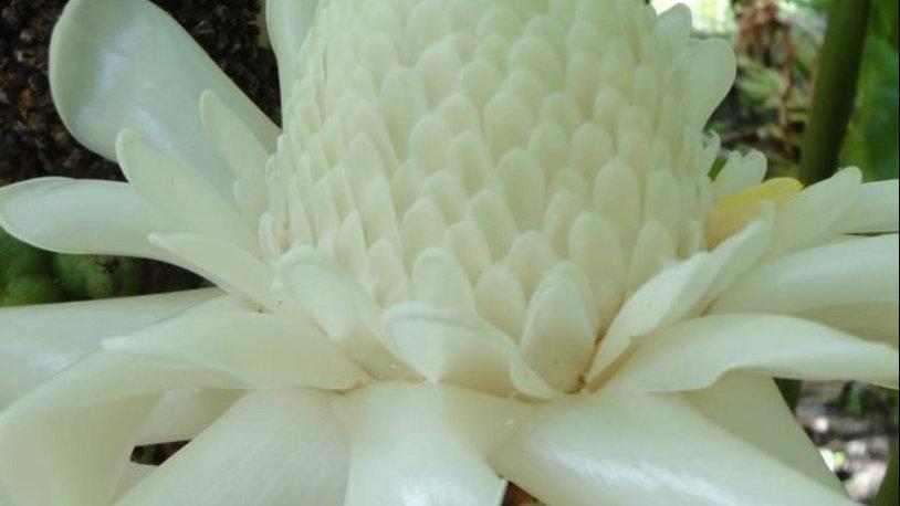 White torch plant rhizome