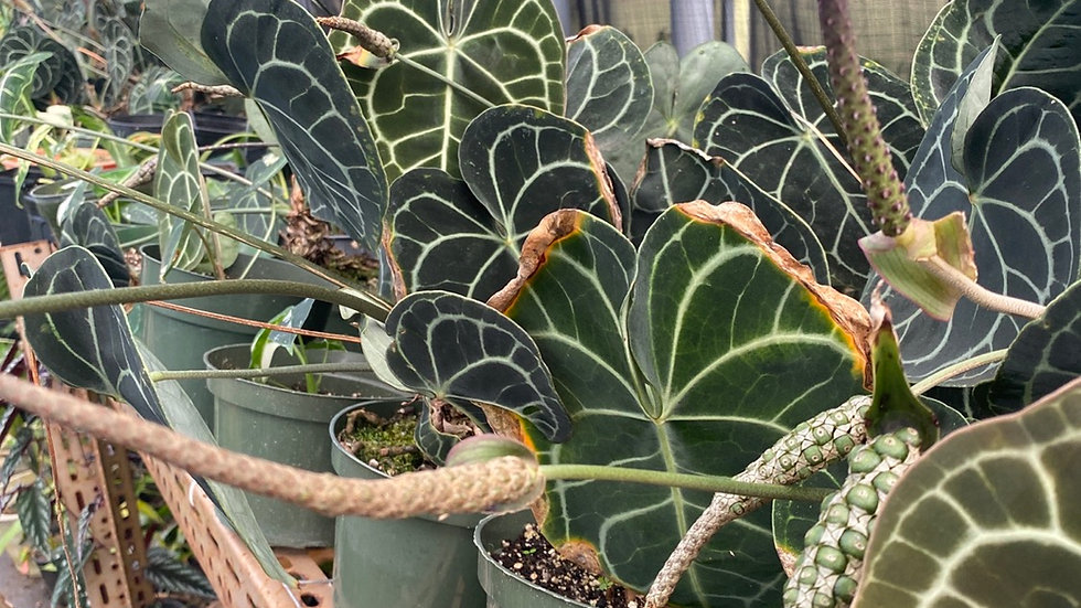 Anthurium clarinervium dark form 2 seeds