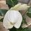 Thumbnail: Anthurium- white winner