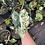 Thumbnail: Variegated frydek plant rooted