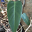 Thumbnail: Philodendron- .- indoor house plant