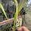 Thumbnail:  Dendrochilum magnum rare