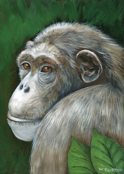 Becky the chimp177