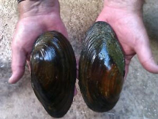 giant mussel.jpg