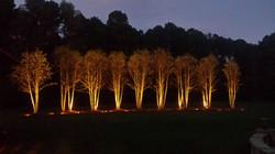BIRCH GROVE WITH TREE LIGHTS