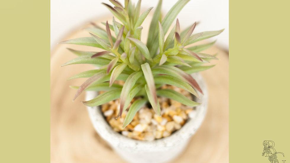 Succulent Pot small