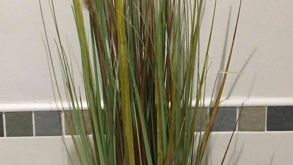 Tall Zebra Grass and Plume Grass Dog tail in pots