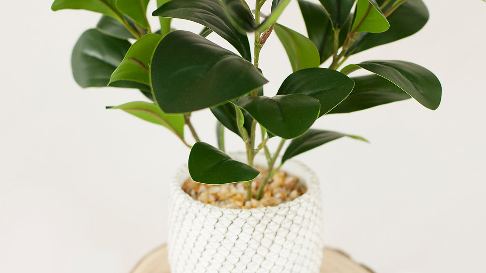New Season Rubber plant