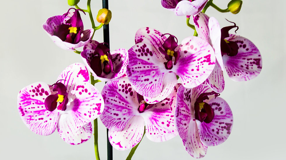 Phalaenopsis Orchid Arrangement pink
