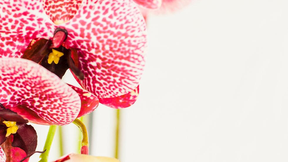 Triple Phalaenopsis Orchid