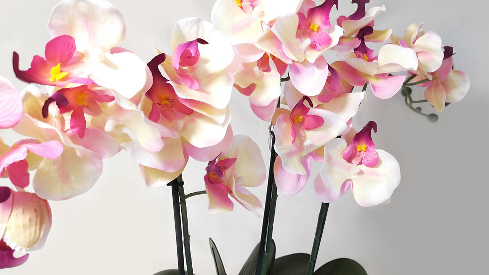 Potted Triple Moth Orchid Arrangment