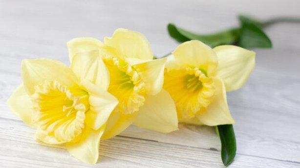 Silk 3 Head Daffodil 3 for £12