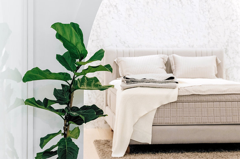 fiddle-leaf-fig-plant-decoration-in-the-