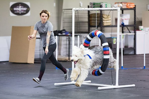 Old English Sheep Dog doing Agility