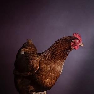 Not 'Just' a Hen