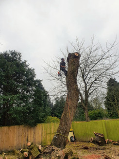 Tree surgeon climbing large tree trunk