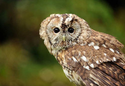 Tawny Owl enjoying the wilderness
