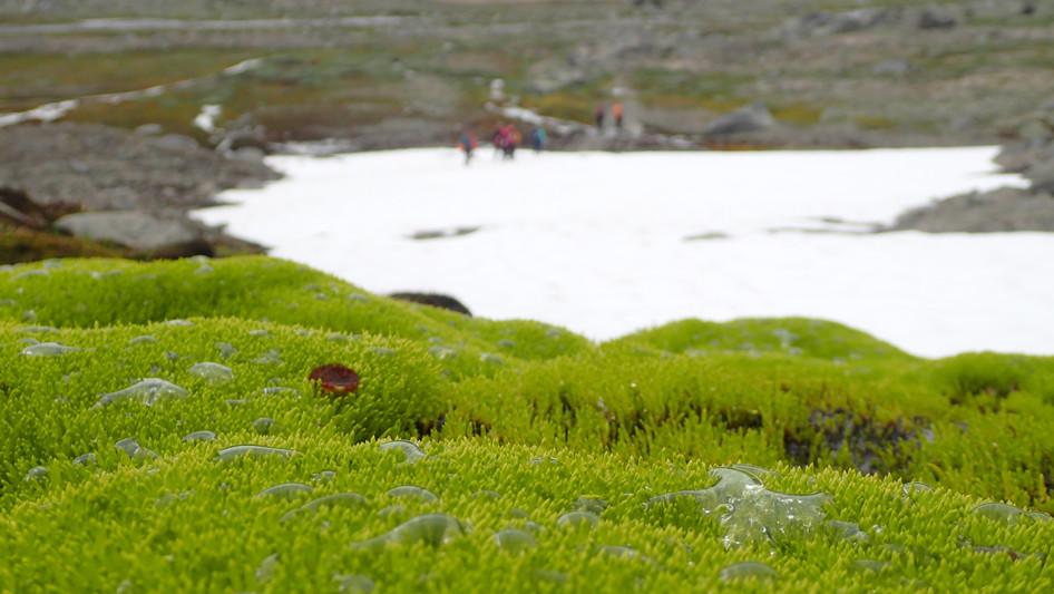 Stream-moss on the way to Bøverbreen