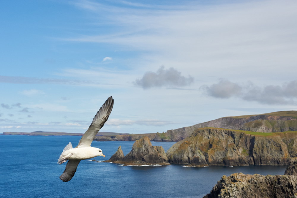 fulmar flying along walls coast shetland