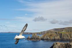 fulmar flying along walls coast shetland