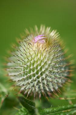 common thistle (Cirsium vulgare)