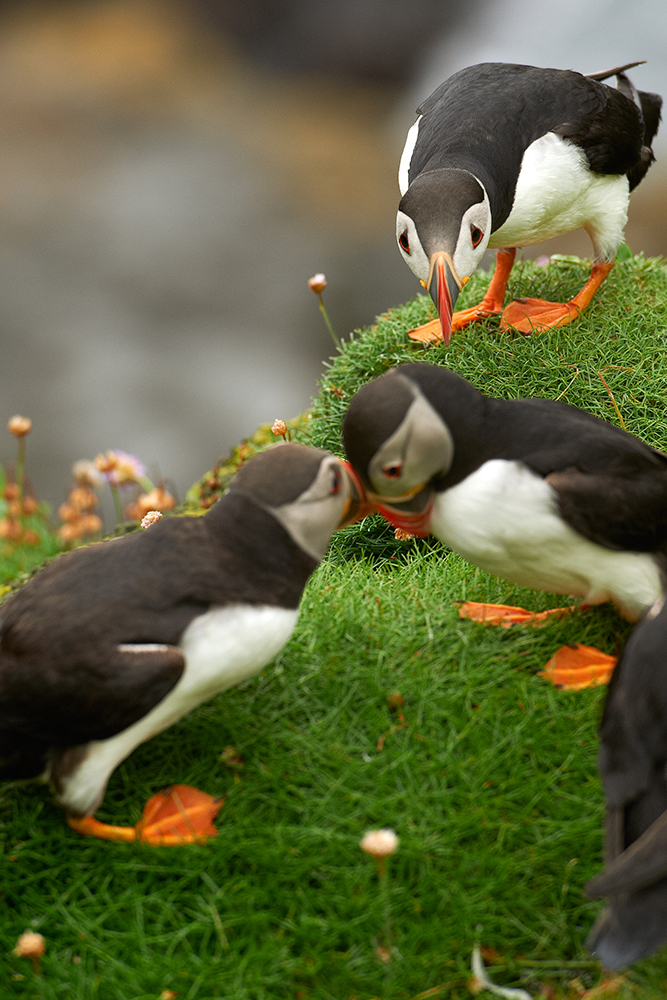 Atlantic puffin (Fratercula arctica) 3