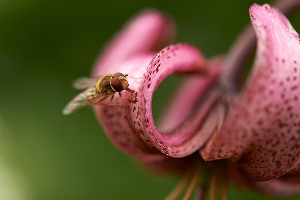 fly on flower 3